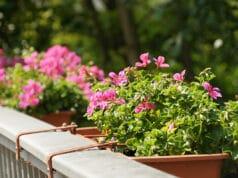 Geranie (Pelargonium)
