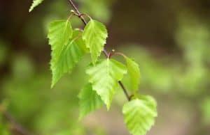 Birken vermehren