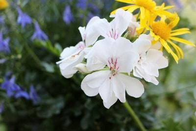 Geranie - Pelargonie pelargonium
