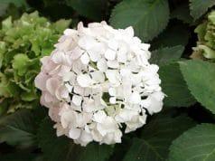 Hortensie Hydrangea