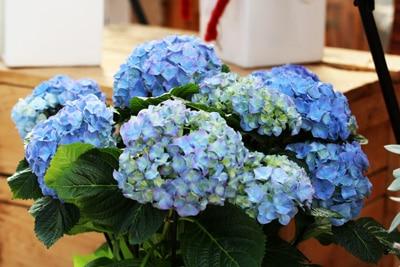 Berühmt Hortensien trocknen - so konservieren Sie Hortensienblüten OO17