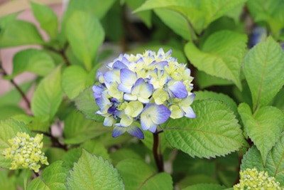 Bevorzugt Hortensien trocknen - so konservieren Sie Hortensienblüten AZ18
