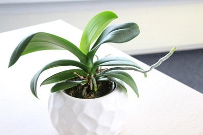 Orchidaceae - Phalaenopsis - Orchideen