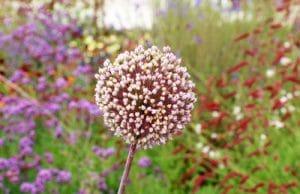 Zwiebel - Allium cepa