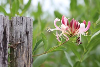 sommerblühende Heckenkirsche - Lonicera - Geißblatt