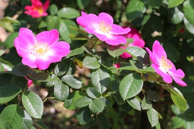 Hunds-Rose - Rosa canina