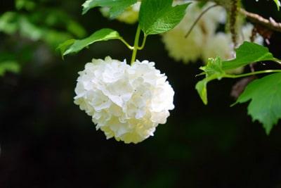 Gemeiner Schneeball - Viburnum opulus