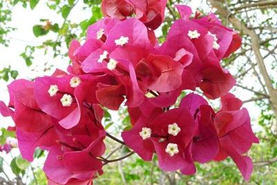 Drillingsblume - Bougainvillea