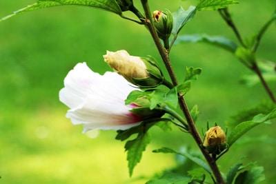 Roseneibisch - Hibiscus syriacus