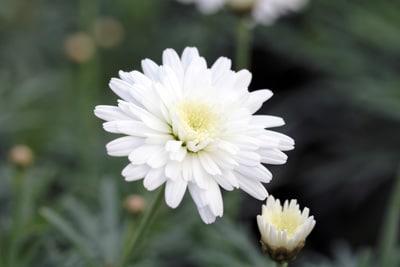 Strauchmargerite - Argyranthemum