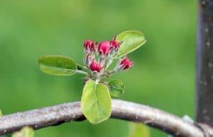 Apfel - Malus