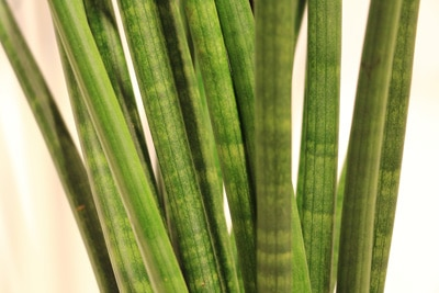 Bogenhanf - Sansevieria cylindrica