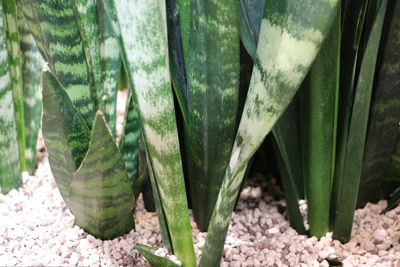 Bogenhanf - Sansevieria trifasciata