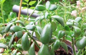 Crassula - Geldbaum - Pfennigbaum