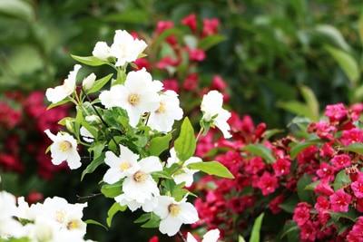 Jasmin - Bauernjasmin ungiftige Zimmerpflanzen