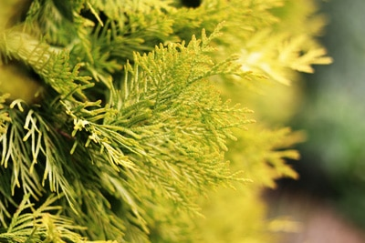 Thuja occidentalis Grabbepflanzung