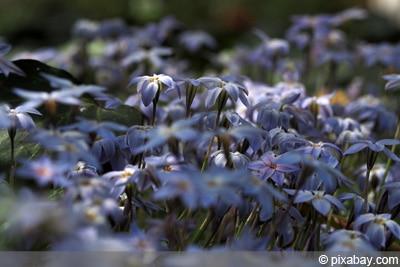 Sternblume - Ipheion