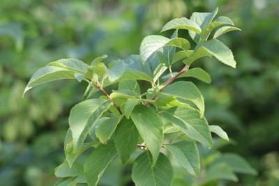 Schneeglöckchenbaum - Halesia