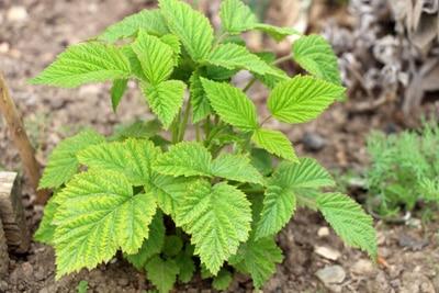 Himbeeren - Rubus idaeus