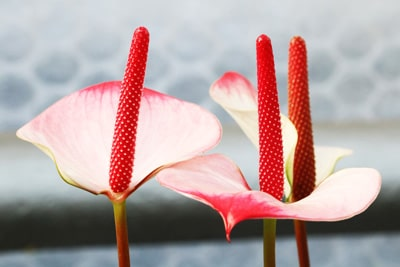 Anthurie - Flamingoblume - Anthurium andreanum
