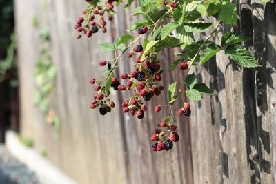 Brommbeere - Rubus sectio rubus