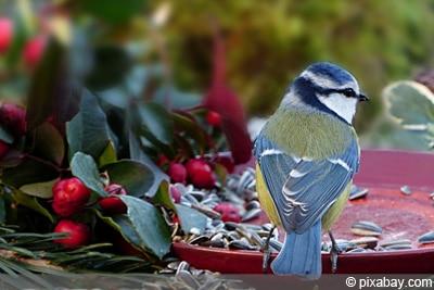 Vögel füttern - Blaumeise