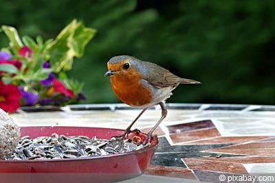 vogel futter rotkehlchen