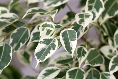 Birkenfeige - Ficus Benjamina Benjamini