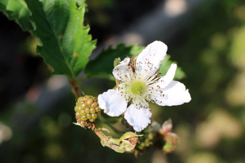 Brombeeren, bienenfreundliche Pflanzen