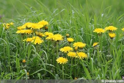 Unkrautvernichter Rasen