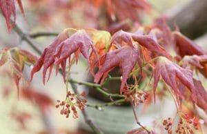Ahorn verliert Blätter