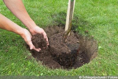 Ahorn verliert Blätter - umpflanzen