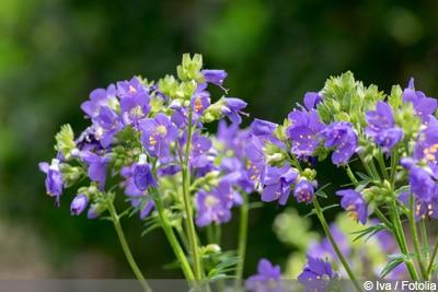 Himmelsleiter - bienenfreundliche Pflanzen