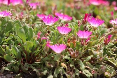 bienenfreundliche Pflanzen - Mittagsblume