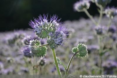 Bienenfreundliche pflanzen - Phacelia tanacetifolia
