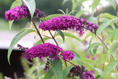 Sommerflieder - Bienenfreundliche Pflanzen