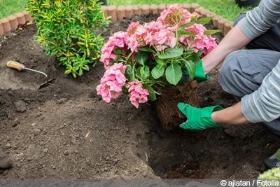Hortensien umpflanzen