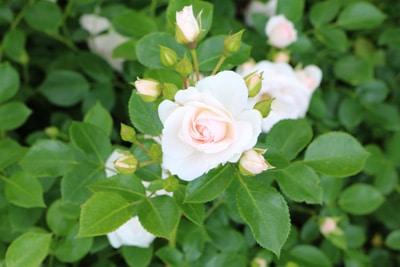 Blumenbeet Rose