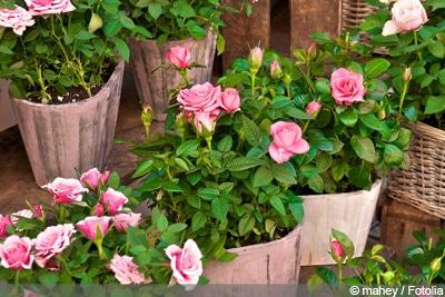 Rosen überwintern Pflege Im Winter Gartendialogde