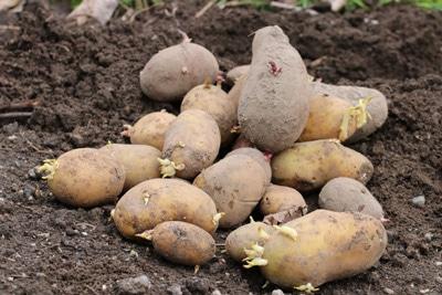Rosen-Stecklinge ziehen - Kartoffeln