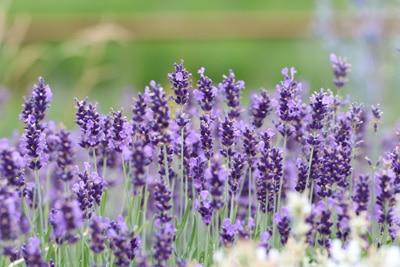 Lavendel verjüngen