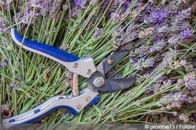 Lavendel verjüngen - schneiden