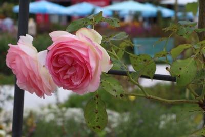 Sternrußtau an Rosen