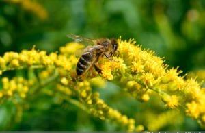 Bienenfreundliche Pflanzen - Biene