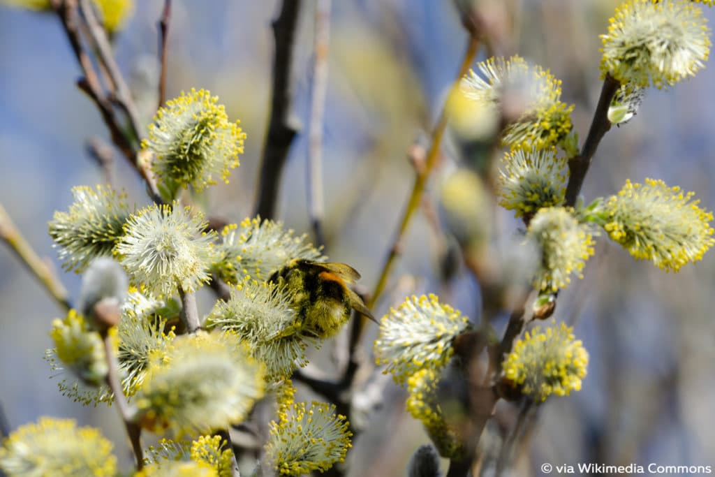 Salweide, Salix caprea