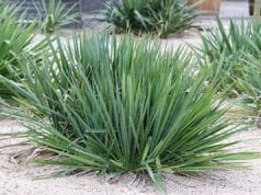 Yucca Palme winterhart