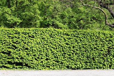 Heckenpflanzen Buche Fagus