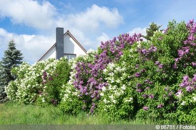 Heckenpflanzen Fliederbusch