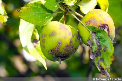 Apfelbaum Malus domestica braune Blätter - Apfelschorf