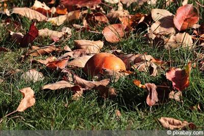 Apfelbaum Malus domestica braune Blätter